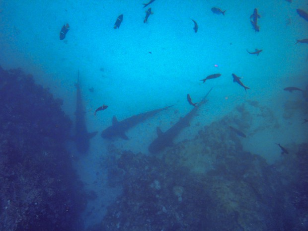 Sharks hovering at the bottom of the ocean floor with colorful fish swimming about in the Galapagos Islands.
