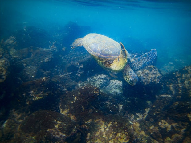 Galapagos sea turtle swimming underwater near the rocky ocean floor.