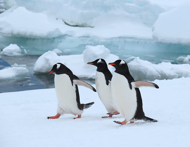 Penguins in Antarctica walking on snow with floating ice in the background