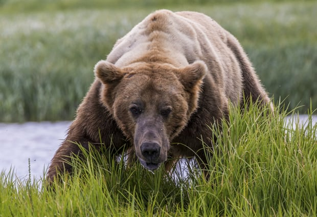 Male grizzly bear seen on small ship cruise excursion in Katmai ALaska.
