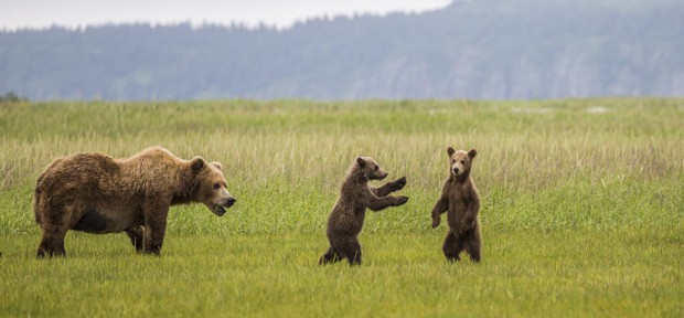Grizzly bear with its two cubs, both cubs standing on hind legs in field in Katmai Alaska.
