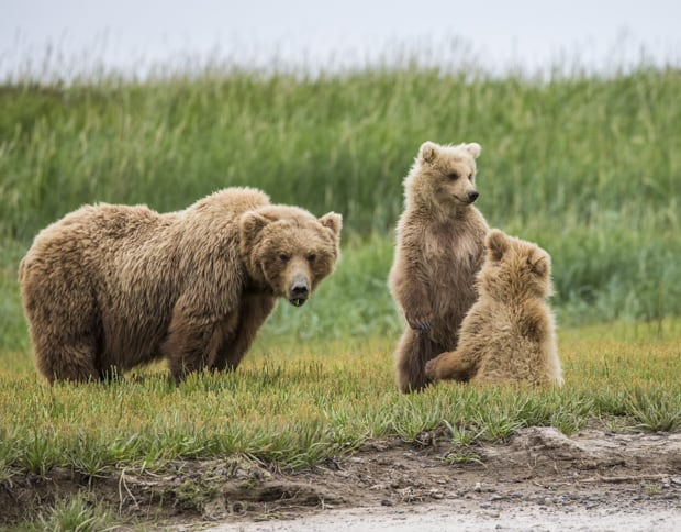 Grizzly bear with its two cubs as seen from tour on small ship cruise to Katmai ALaska.