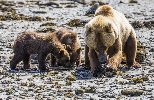 Grizzly bear with two cubs on rocky beach seen on tour from small ship cruise in Katmai Alaska.