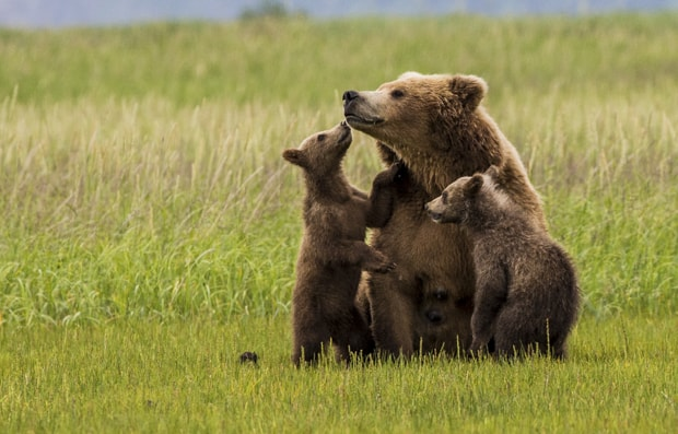 Two grizzly cubs close with their mother in a green field in Katmai Alaska.