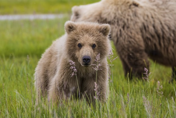Grizzly bear in grass and wildflowers standing in front of its mother seen on tour in Katmai Alaska.