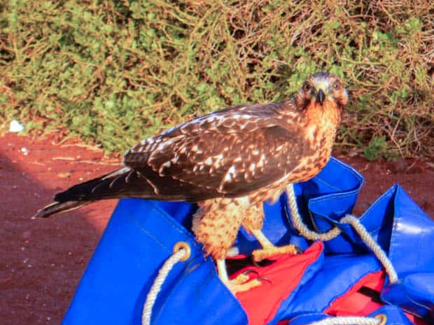 A hawk standing on top of a blue bag on a red sandy beach on Rabida Island in the Galapagos.