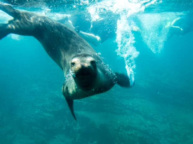 Sea lion playfully swimming underwater with snorkelers in the Galapagos.