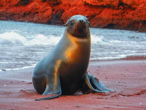 A sea lion walking on a red sandy beach at sunset on Rabida Island.