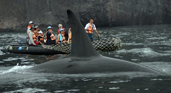 Orca fin in front of a skiff excursion with guests from a small ship cruise in Alaska.