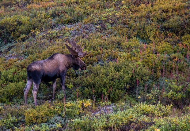 Moose eating shrubbery seen from a land tour to Denali National Park Alaska.