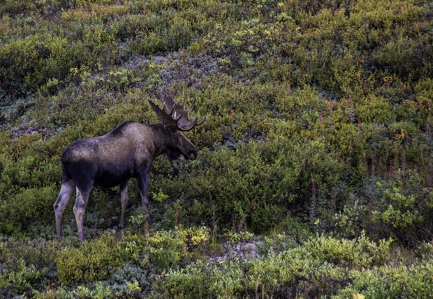 A Denali National Park moose with antlers seen in the low-lying green bushes.