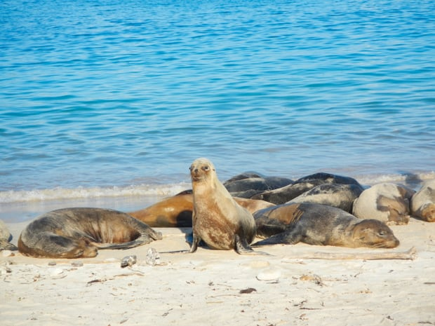 Group of sea lions sleeping on a sandy beach with one sea lion sitting up in the Galapagos.