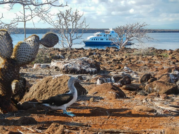 Blue Footed Booby on a rocky shore with the Natural Paradise small ship cruise anchored off the coastline.