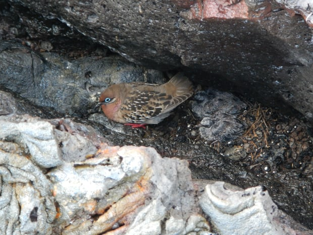 Galapagos dove and 2 chicks nestled in volcanic rock in the Galapagos.