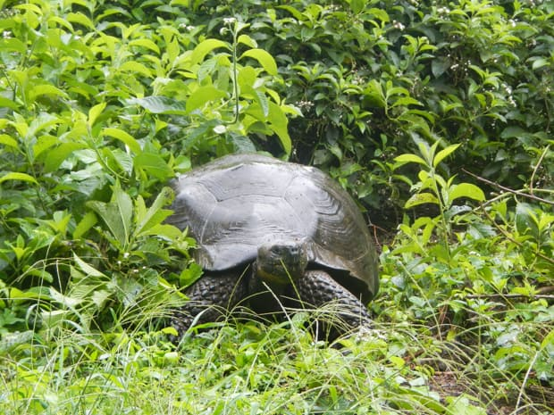 Giant tortoise walking in a green field at the Charles Darwin Research Center in the Galapagos.