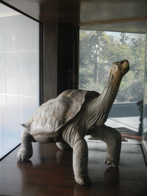Statue of the tortoise Lonesome George in a museum.