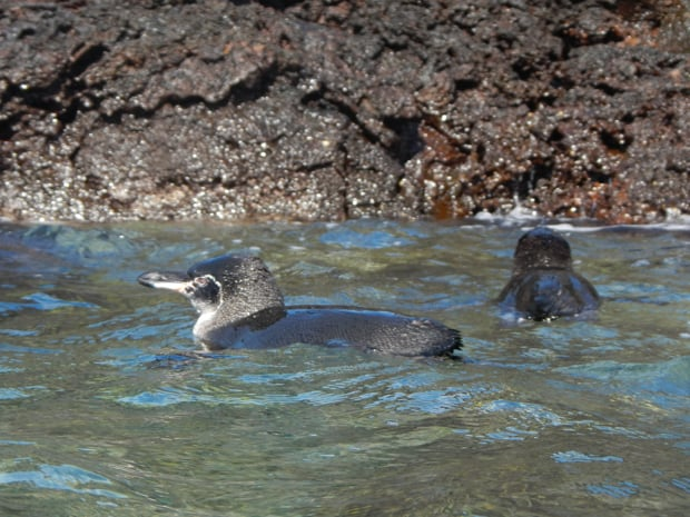 2 Galapagos penguins swimming in the ocean next to a rocky volcanic shoreline.