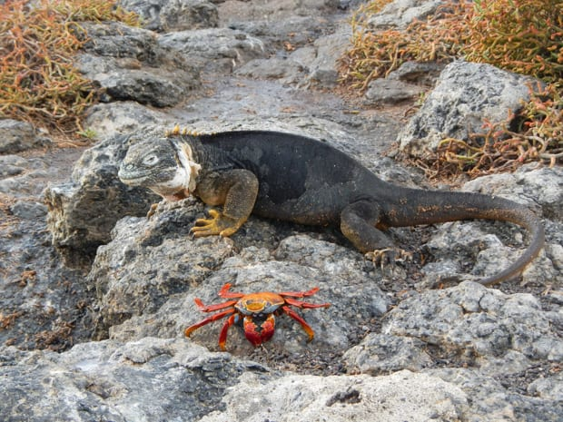 Black marine iguana with yellow feet and a red and orange Sally Lightfoot crab nearby.