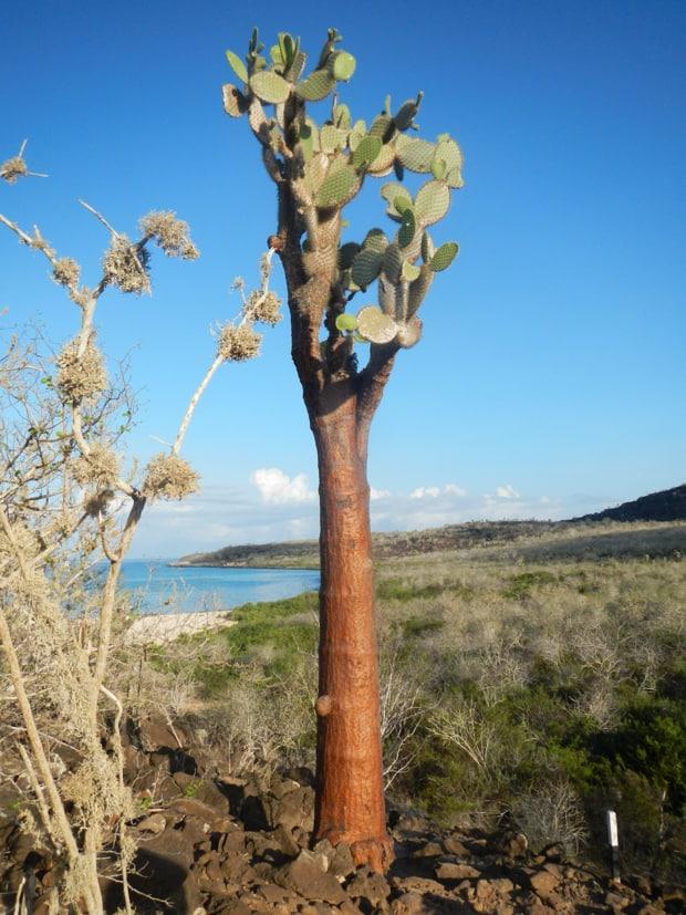 Galapagos Opuntia cactus near a beach on a Galapagos island.
