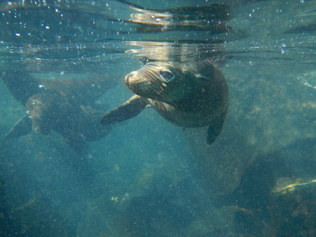 2 sea lions swimming underwater in the ocean at the Galapagos.