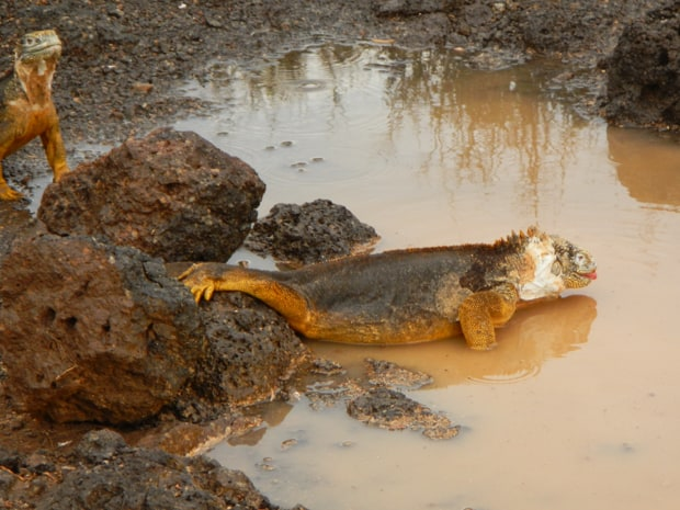 2 Iguanas wading in a small muddy puddle.