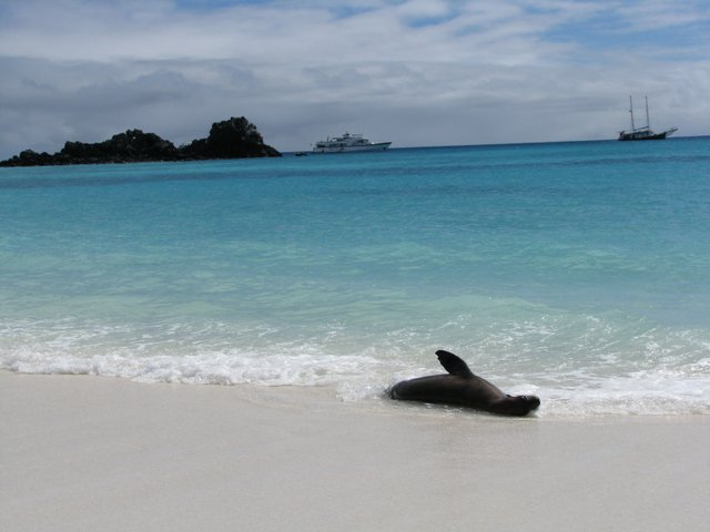Sea lion playing in the waves on a sandy beach wit the small ship Beluga and sail boat in the background.