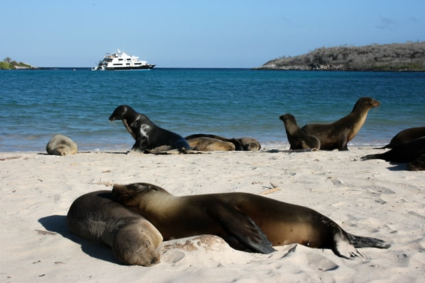 Sea Lions relaxing on the beach in front of a small cruise ship.