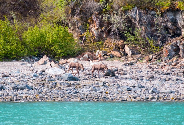 Two moose walking along the shore seen from a small ship cruise in Alaska.