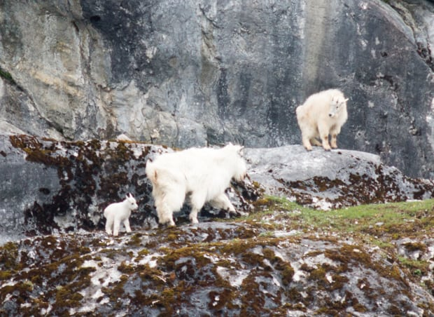 Two mountain goats with a baby goat climbing on rocks seen from a small ship cruise in Alaska.