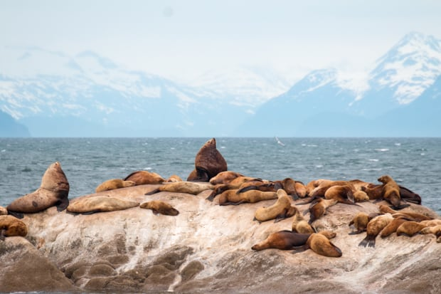 Group of sea lions on a rock with Alaska mountain peaks in the background.