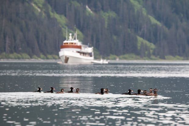 Group of birds in the water with the small ship Sea Wolf in Alaska in the background.