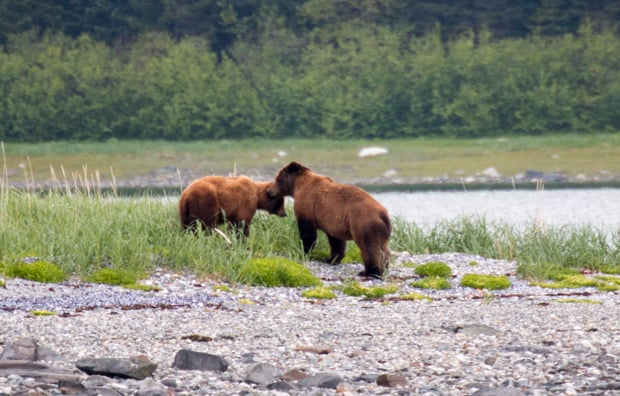 Two brown bears seen on tour from a small ship cruise in Alaska.