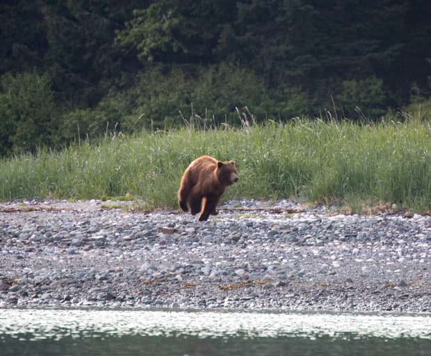 Brown bear running on the beach seen from a small ship tour in Alaska.