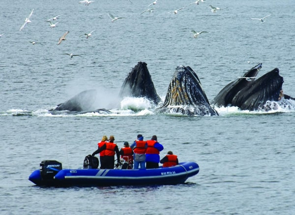 Guests from a small ship cruise in Alaska on a skiff excursion with pod of humpback whales bubble feeding very close by.