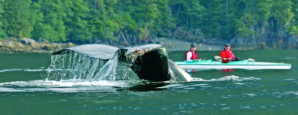 Guests on a small ship cruise in Point Adolphus Alaska kayaking with a whale tail in front of them.