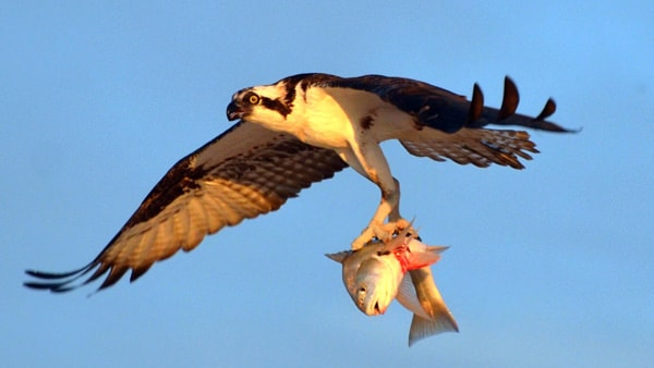 a bird flying while holding a fish