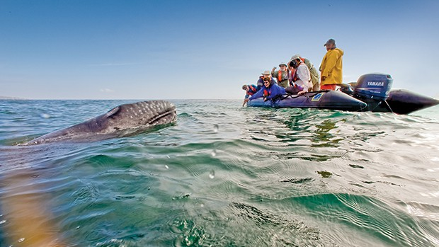 group of travelers looking at a grey whale from a skiff in baja