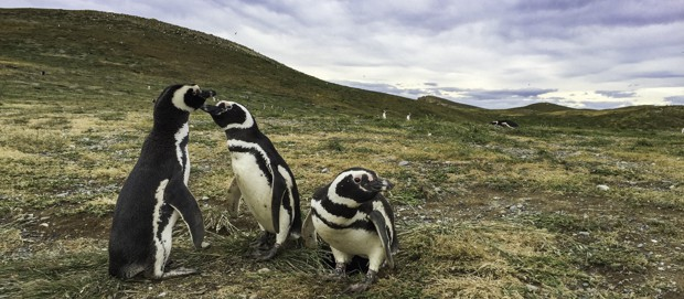 Three penguins hanging out on grassland in Patagonia.