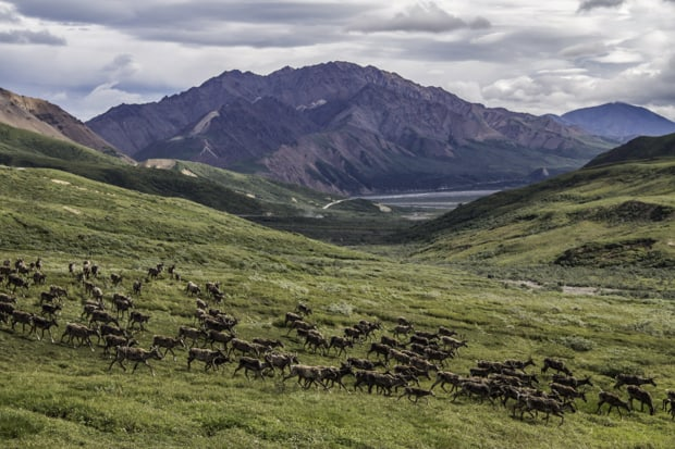 Herd of deer running in an open range in Denali National Park in Alaska.