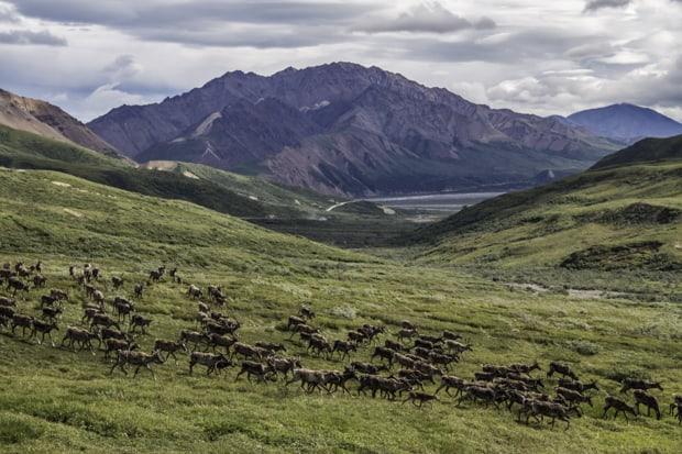 Herd of deer running in an green open range in Denali National Park in Alaska.