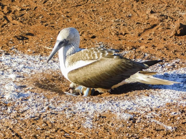 Blue Footed Booby in sandy nest with a baby chick and egg.