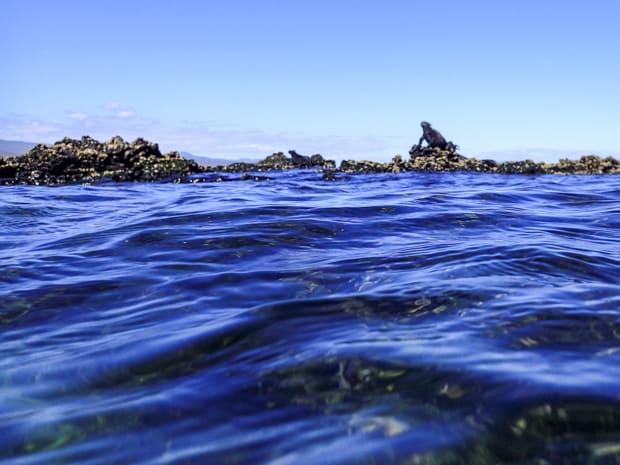 Galapagos marine iguana sitting on a tidal rock.