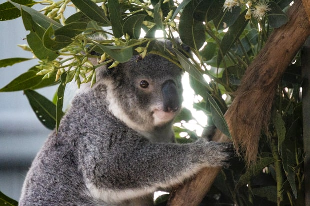 A koala in a eucalyptus tree in Australia