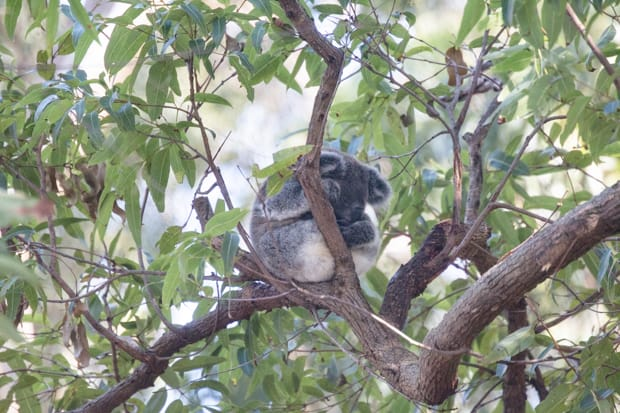 A koala sleeping with its head down in a eucalyptus tree