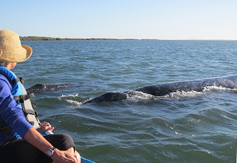 adventure traveler looks at two grey whales on a sunny day in magdalena bay in baja california