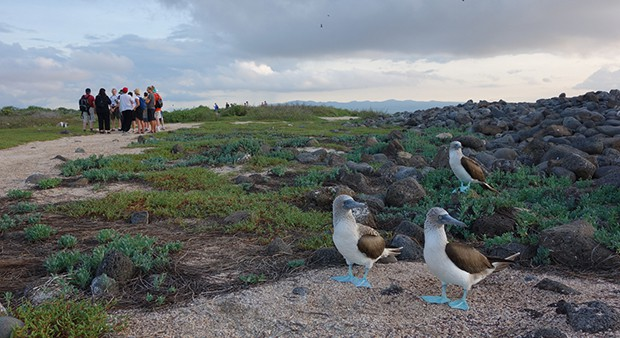 Three blue-footed boobies on North Seymour Island with a group of Galapagos travelers in the background