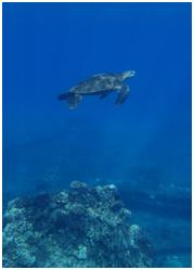 Hawaiian sea turtle swimming through deep blue water above turquoise rocks