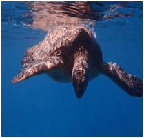 Hawaiian sea turtle