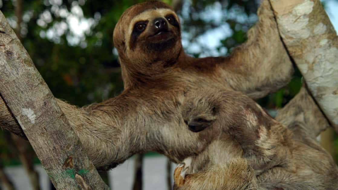 Amazon sloth between two trees with baby on its belly
