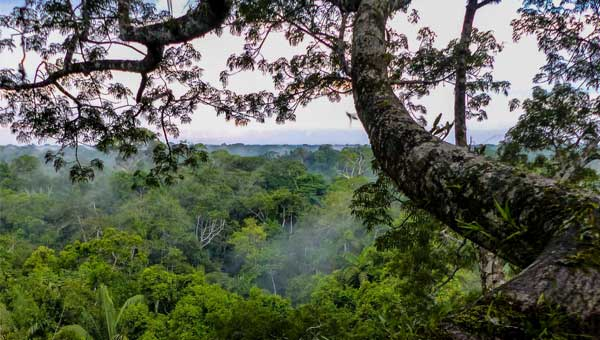 A long tree branch extends beyond the canopy on a misty morning in the Amazon rainforest.
